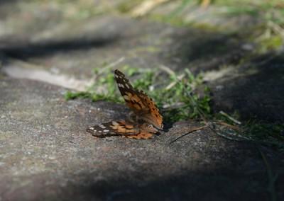 Dode vlinder